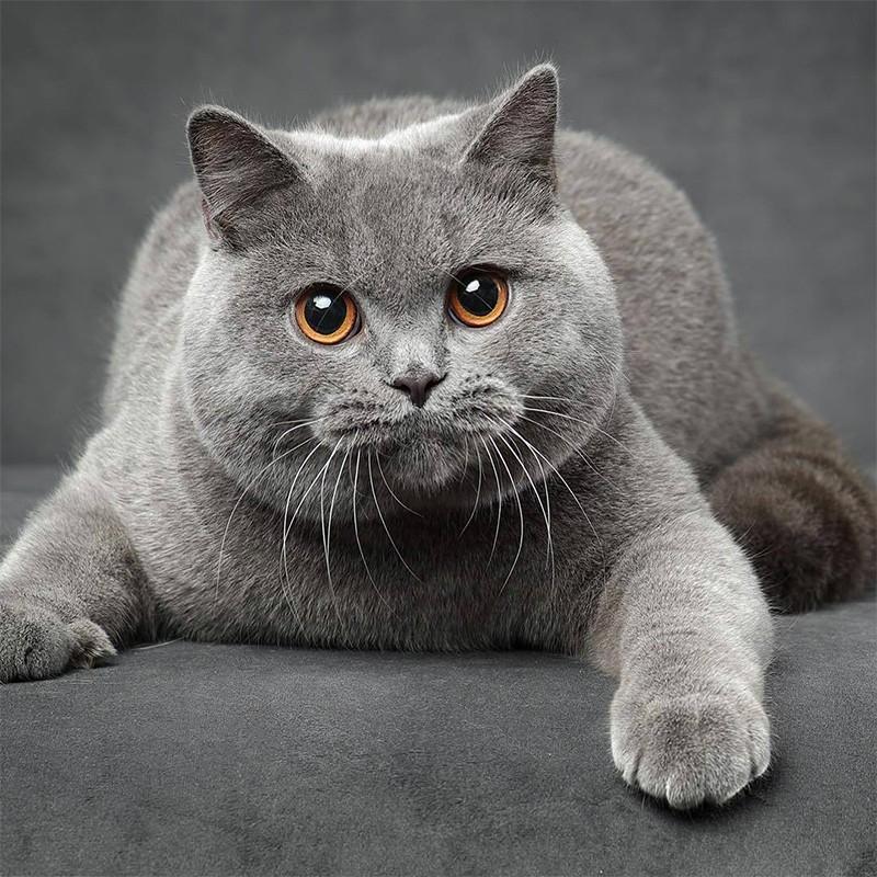 英短·蓝猫 保30天 保纯种 British Shorthair