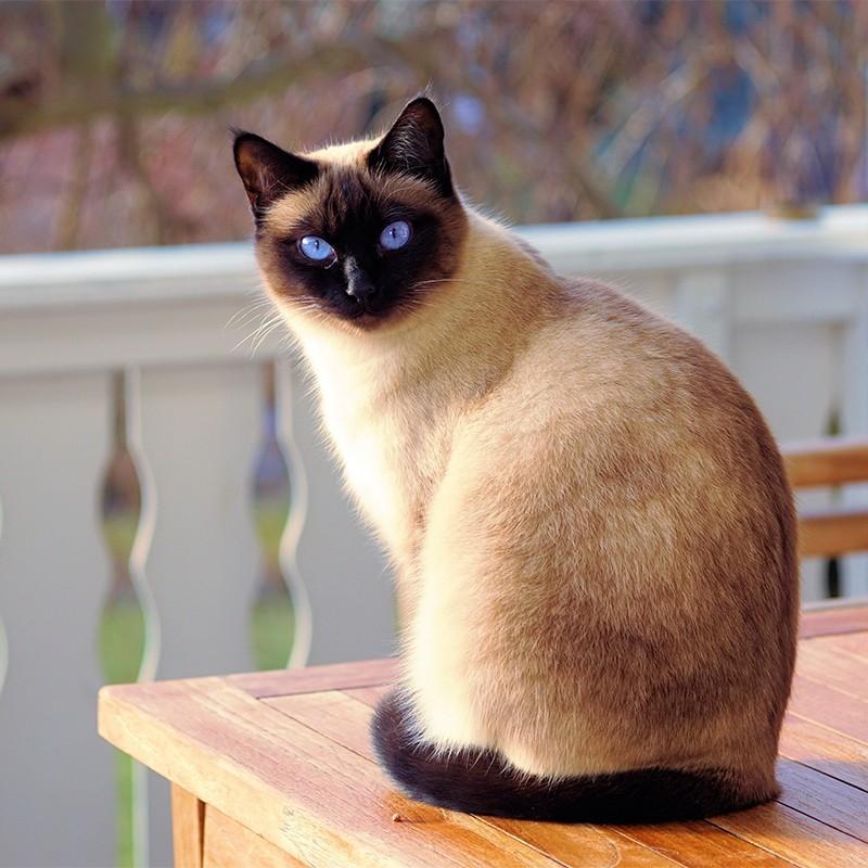 泰国暹罗猫 保30天健康 保纯种 Siamese