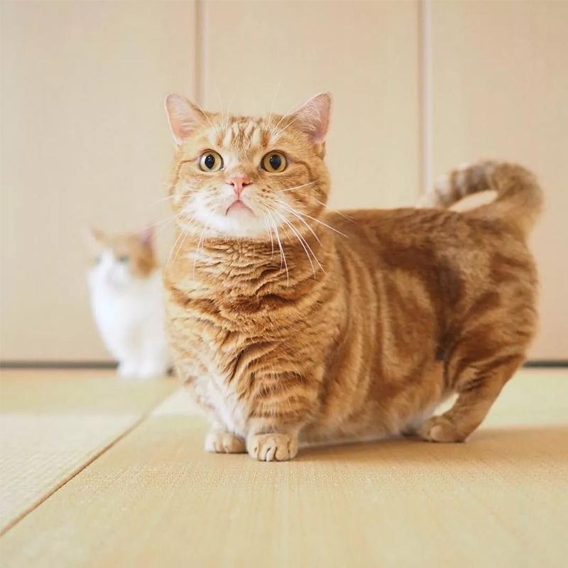 曼基康矮脚猫 保30天质量 保纯种 Munchkin