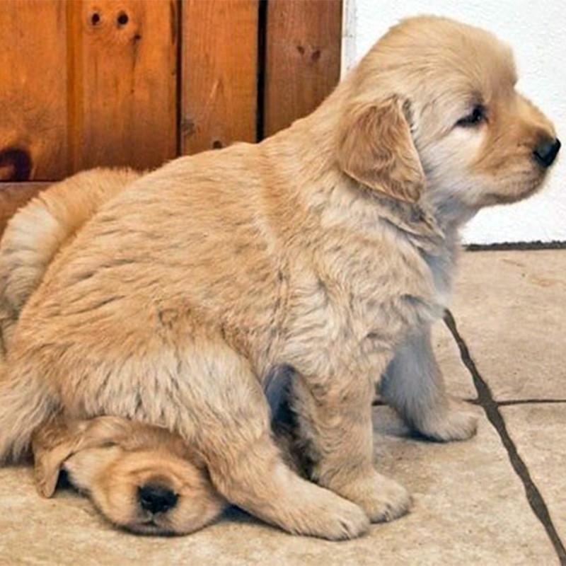 金毛寻回犬 保30天健康 保纯种 Golden Retriever