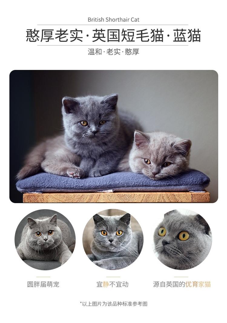 5品种介绍-蓝猫.jpg