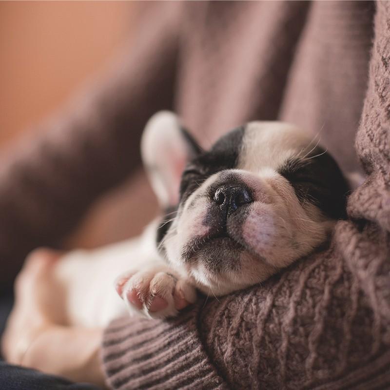 法国斗牛犬 保30天健康 保纯种 French Bulldog