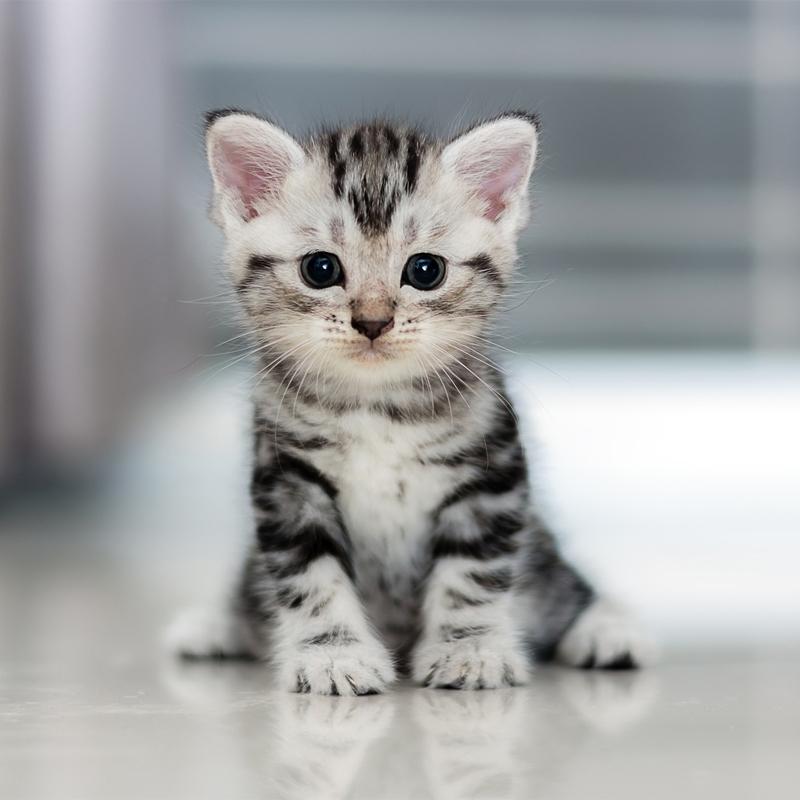 美国短毛猫 保30天健康 保纯种 American Shorthair